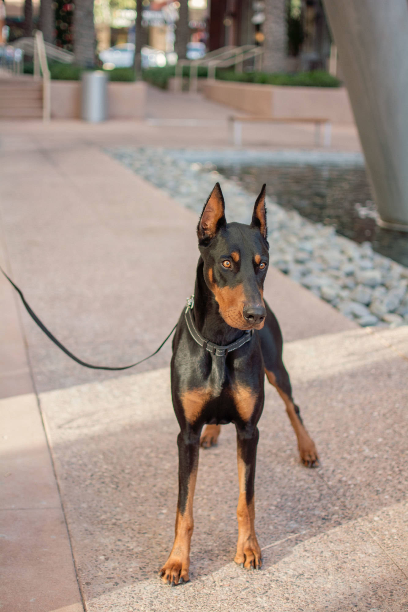 Sammy Desert Harbor Doberman Rescue