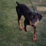 Adopt Doberman Puppy Dash