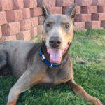 Adoptable Doberman Clark