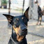 Adopt Doberman Alice