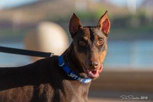 Random image: Adopt Doberman Rudie