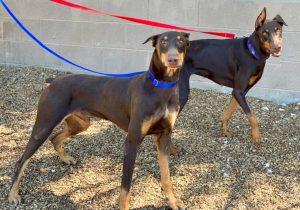Random image: Adopt Dobermans Letty & Torreto