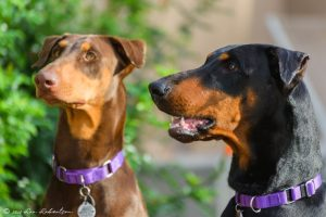 Random image: Adopt Dobermans Bellaa and Jolene