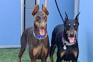 Random image: Adopt Dobermans Atheena and Suess
