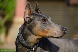 Random image: Adopt Doberman Little Boy Blue